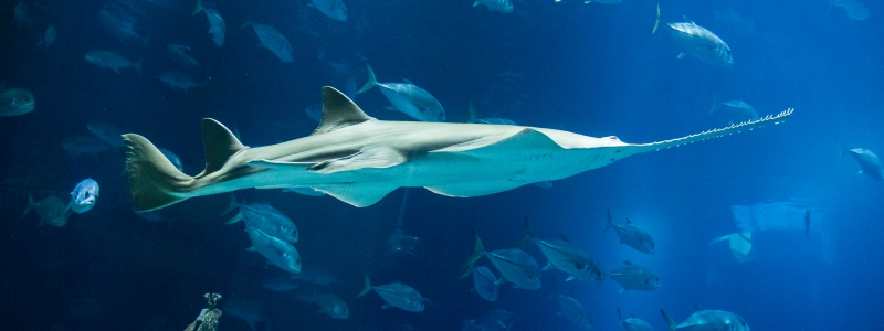 Banner SAWFISH: SEE A SAW