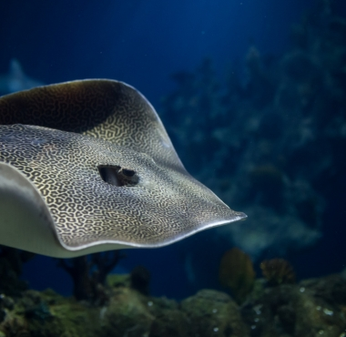 Honeycomb Whiptail ray