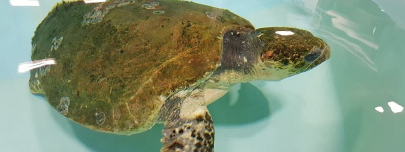 Banner TURTLE REHAB AND RELEASE CONTINUES ACROSS THE WATER